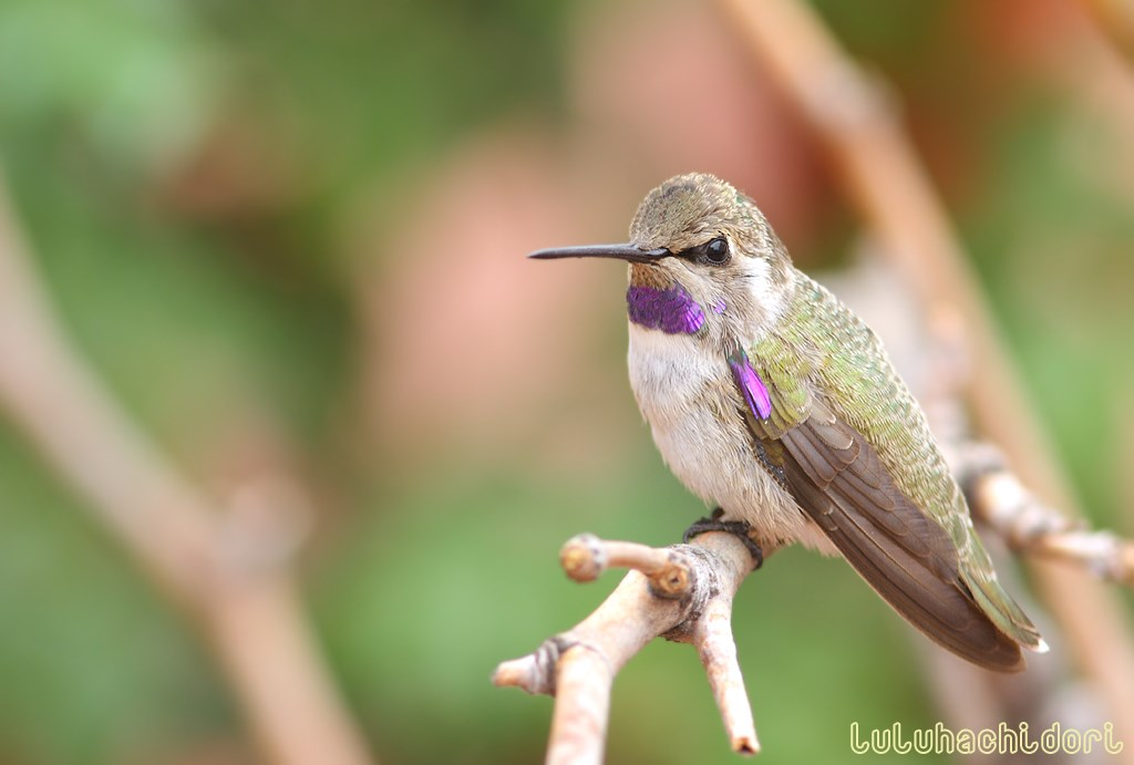 immature male Costa's Hummingbird 160714-2