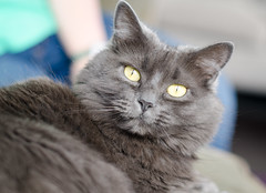 domestic long-haired cat, nose, animal, british shorthair, british semi-longhair, small to medium-sized cats, pet, fauna, chartreux, close-up, cat, carnivoran, whiskers, nebelung, domestic short-haired cat,