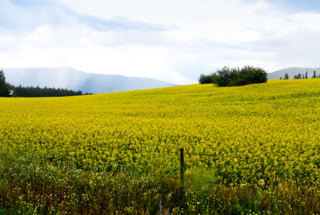 Flower fields near Armstrong BC