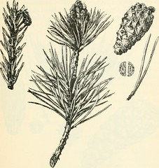 """Image from page 330 of """"Trees; a handbook of forest-botany for the woodlands and the laboratory"""" (1904)"""