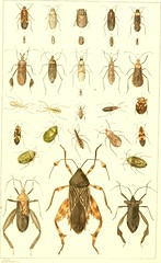 """Image from page 42 of """"Manuscript notes from my journal, or, Illustrations of insects, native and foreign. Order Hemiptera, suborder Heteroptera, or plant-bugs"""" (1876)"""