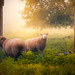 A Little Sheepish by Paul Jolicoeur Photography
