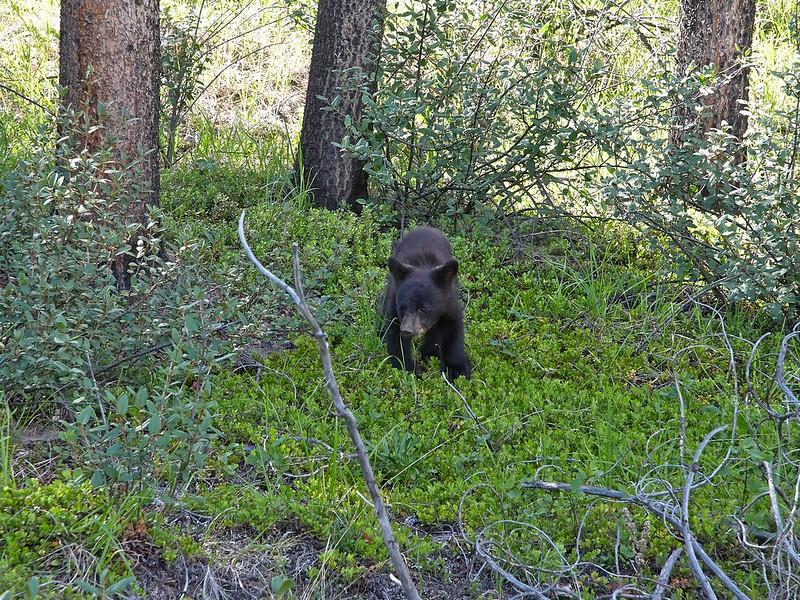 Black Bear Cub- Jasper National Park
