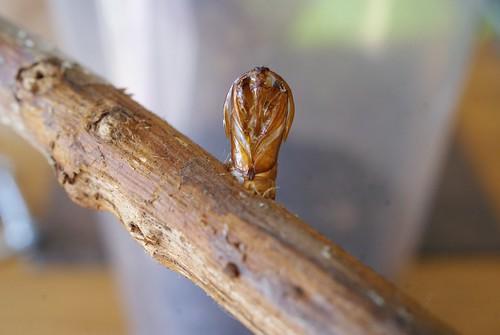Raspberry Clearwing (Pennisetia hylaeiformis) exuvia