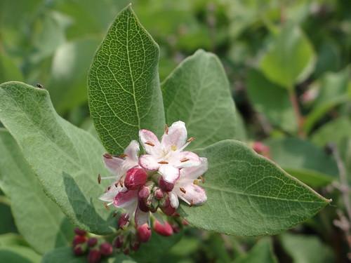 Western Snowberry