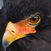 Small photo of Bateleur Eagle