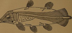"""Image from page 463 of """"Catalogue of the fossil fishes in the British Museum (Natural History) .."""" (1889)"""
