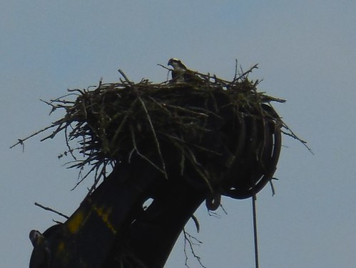 Osprey on a Crane