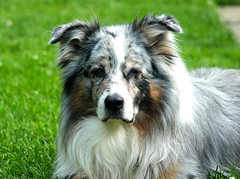 rough collie(0.0), collie(0.0), icelandic sheepdog(0.0), border collie(1.0), dog breed(1.0), animal(1.0), dog(1.0), pet(1.0), miniature australian shepherd(1.0), australian shepherd(1.0), english shepherd(1.0), carnivoran(1.0), shetland sheepdog(1.0),