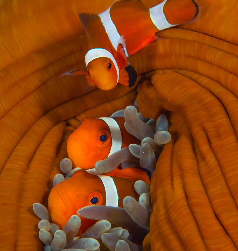 Philippine - Siqujior - Gorgonia Wall - Amphiprion - 647.jpg