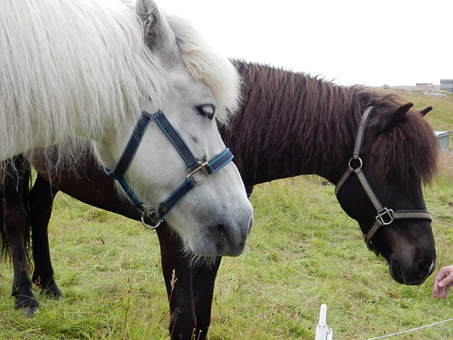 Faroe Islands Horses