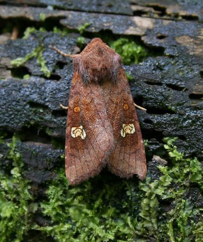 Ear Moth agg. Amphipoea oculea agg. Tophill Low NR, East Yorkshire August 2014