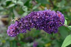 Blütenpracht mit Schwebfliege im Schebergarten