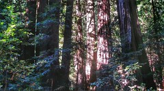 sun rays in the woods, Muir Woods, California