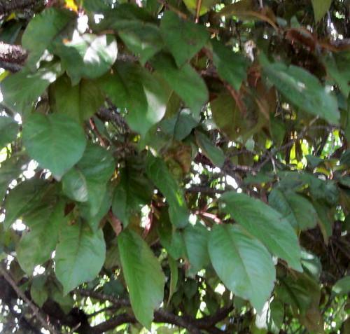 virginia trunk restarea prunuscerasifera interstate81 deepgreenleaves cherryplumtree summer2014 ovatewithsmoothedges roughtwisted