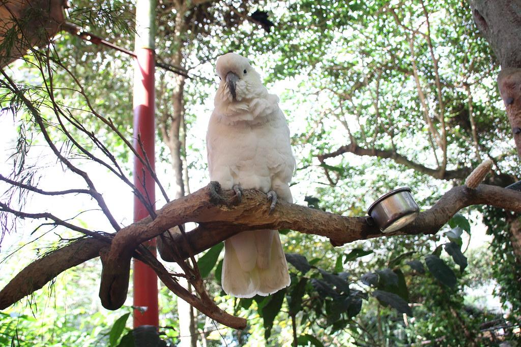 port douglas, port douglas wildlife habitat, breakfast with the birds, koala, saltwater crocodile