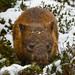 Wombat in the Snow by Gav Owen