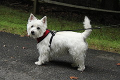 wire hair fox terrier(0.0), dandie dinmont terrier(0.0), parson russell terrier(0.0), australian terrier(0.0), miniature schnauzer(0.0), dog breed(1.0), animal(1.0), dog(1.0), pet(1.0), glen of imaal terrier(1.0), vulnerable native breeds(1.0), cairn terrier(1.0), west highland white terrier(1.0), carnivoran(1.0), scottish terrier(1.0), terrier(1.0),