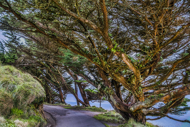 Walking Through the Cypress Grove at Point Reyes