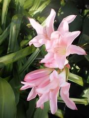 blossom(0.0), lily(1.0), flower(1.0), plant(1.0), flora(1.0), epiphyllum crenatum(1.0), pink(1.0),