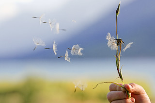 Wind spreading the seeds of the dandelion puff at Jackson Lake in the Grand Tetons, Wyoming