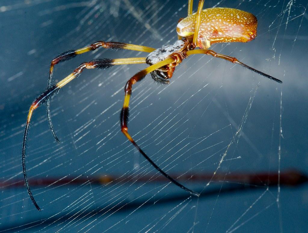 Florida Orb Web Spider (Nephila clavipes)_2