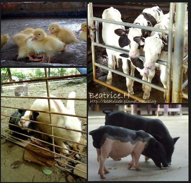 乳牛的家。可愛動物