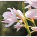 Pink Kaffir lily