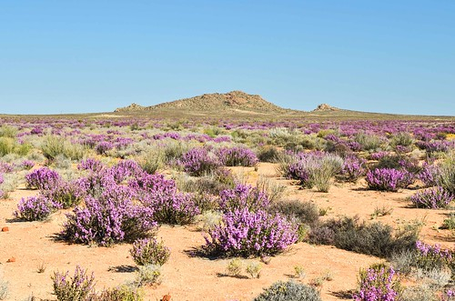 Flowers of Northern Cape, South Africa