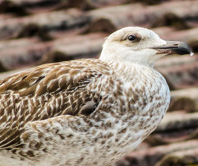Female seagull - photo#10