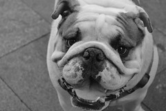 animal, dog, white, old english bulldog, british bulldogs, pet, olde english bulldogge, mammal, white english bulldog, monochrome photography, toy bulldog, monochrome, bulldog, black-and-white,