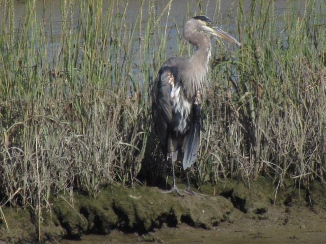 Great Blue Heron2 8:24:14