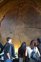 Giant 1335 year old Sequoia tree cutting.