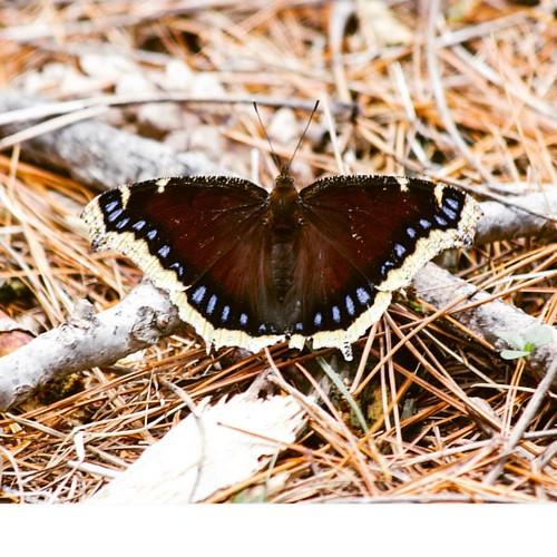 Mourning Cloak #kimberlyreneephotography #mourning #cloak #mourningcloak #mourningcloakbutterfly #butterflies #butterfly #butterflyworld #butterflywings #butterflylovers #butterflieseverywhere #butterfliesofinstagram #butterflygram #butterflys #wisconsin