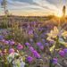 Desert Lily Preserve by blmcalifornia