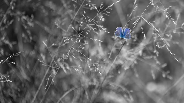 Le petit Papillon bleu, Sony ILCE-7R, Tamron SP AF 180mm F3.5 Di LD [IF] Macro