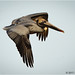 Brown Pelican, Birds of the St. Marks National Wildlife Refuge by alan jackman