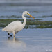 Great White Egret (Nov 16) by Steve Birt