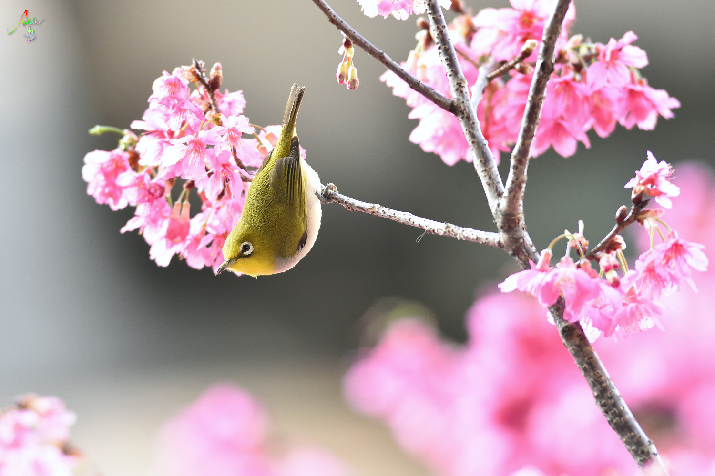 Sakura_White-eye_8193