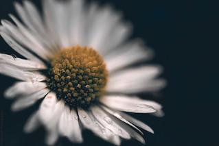 The Daisy // 13 06 14