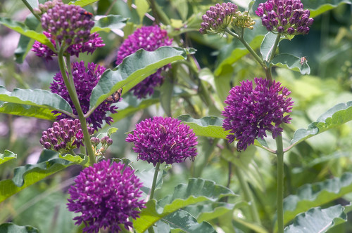 Asclepias purpurescens