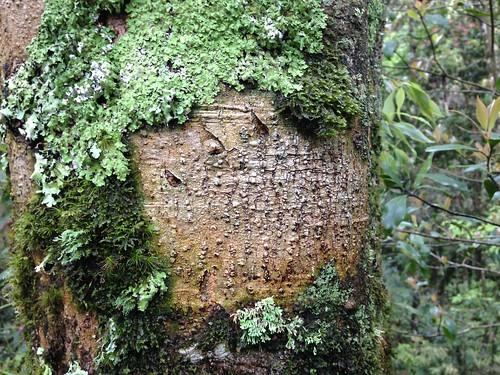 雪山冬青樹上,清楚印記著熊爪印,而離這棵樹不到300公尺遠,工人已經開始在樹上噴漆,準備砍樹蓋雪谷線纜車塔柱。