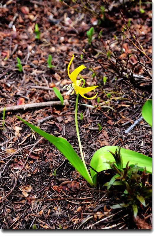 Glacier Lily 9