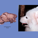 Botai dog skull next to the profile of a Samoyed.  Illustration by artist Mark Klingler.