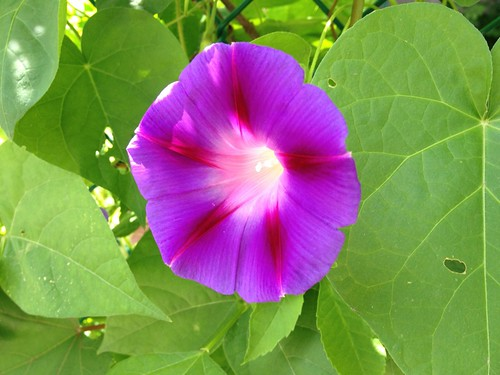 Morning glory!