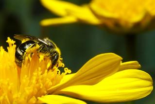 Native Australian Stingless Bee