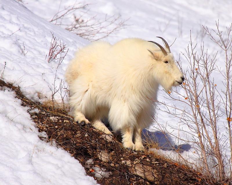 IMG_0300 Mountain Goat, Targhee National Forest