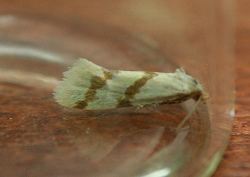 Aethes beatricella Tophill Low NR, East Yorkshire June 2014