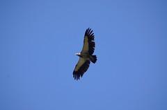 animal, bird of prey, eagle, wing, vulture, buzzard, accipitriformes, sky, bird, flight, condor,