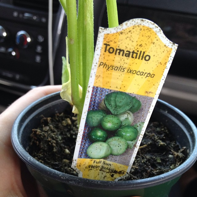 Went to replace my cucumber plant that got eaten and came home with a tomatillo plant instead. Gotta get recipes from my Mexican friends!